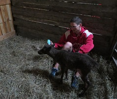A baby reindeer in a stall with a person nearby.