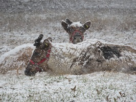 Two reindeer laying down in the snow.
