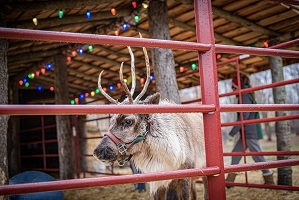 A reindeer under a roof decorated with multi-colored lights