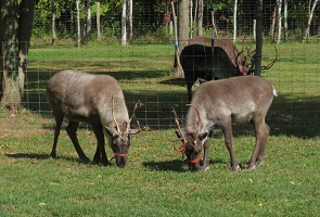 Two young reindeer with twiggy antlers grazing. Two older reindeer are in the background.