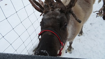 A reindeer looking at the camera.